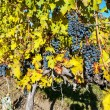 Grape vines in vineyard — Stock Photo #37705019
