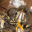 Little baby birds sitting in the nest, close-up photography of n — Stock Photo #49103243