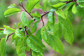 Macro tree branch with raindrops, dew on leaves close-up photogr — Stock Photo