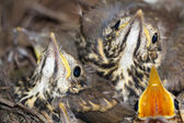 Little baby birds sitting in the nest, close-up photography of n — Stock Photo