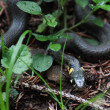 Stock Photo: Nonpoisonous snake serpent