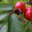Dog Rose Hips  (Rosa canina) — Stock Photo