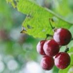 Viburnum branch — Stock Photo