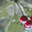 Viburnum branch — Stock Photo #13554104