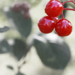 Viburnum branch — Stock Photo #13554187