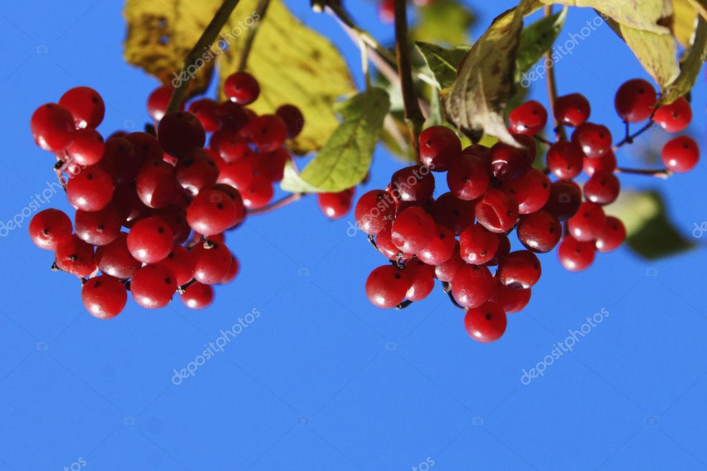 Viburnum branch on a green background  Stock Photo #14060999