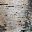 Karelian birch bark - Stock Photo