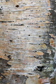 Karelian birch bark — Stock Photo