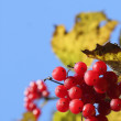 Viburnum branch — Stock Photo