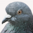 Stock Photo: Pigeon (Columblivia)