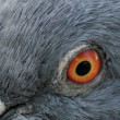 Blue eyes (Columba livia) — Stock Photo