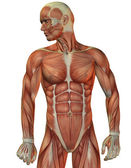 Man muscle structure front view — Stock Photo