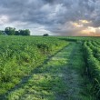 Soy field with rows of soya bean plants — Stock Photo #50071471