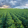 Soy field with rows of soya bean plants — Stock Photo #50071703