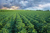Soy field with rows of soya bean plants — Stock Photo