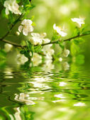 Flowering branch — Stock Photo
