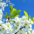 Сherry blossoms — Stock Photo