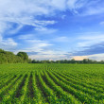 Corn field — Stock Photo #19326803