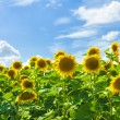 Sunflower field — Stock Photo #19858487