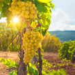 Vineyard — Stock Photo #29312259