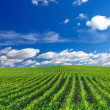 Corn field — Stock Photo #48153909