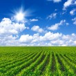 Corn field — Stock Photo #48448061