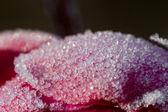 Close-up buz kaplı bir çiçek — Stok fotoğraf