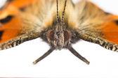 Butterfly makro — Stockfoto