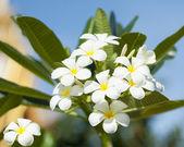 Franipani flowers — Stock Photo