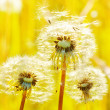 Dandelions on a green meadow — Stock Photo
