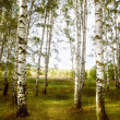 Stock Photo: Forest birch near a pond