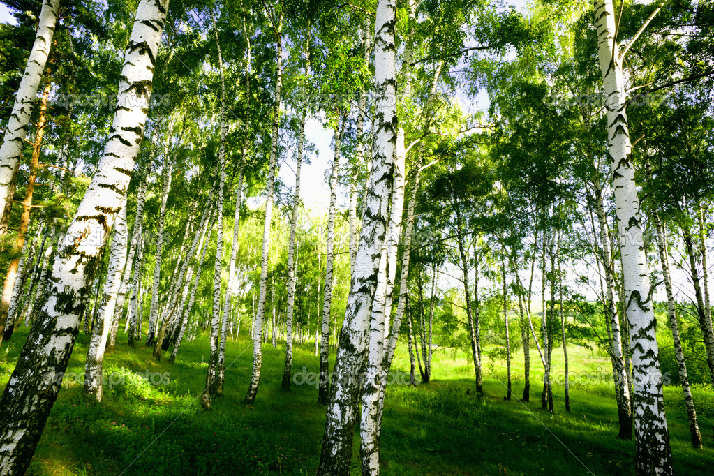 Birch forest in sunlight in the morning  Stock Photo #13139860
