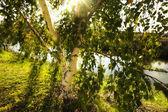 Birch in sun rays — Stock Photo