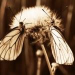 Two butterflies — Stock Photo