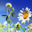 Camomile, clover and the blue sky — Stock Photo