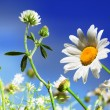 Stock Photo: Camomile, clover and the blue sky