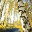Forest birch near a pond - Stock Photo