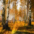 Forest birch near pond — Stock Photo #14533343