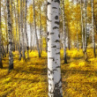 Forest birch — Stock Photo #14533349