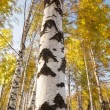 Forest birch - Stock Photo