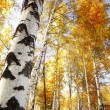 Forest birch — Stock Photo #14533359