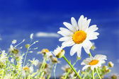 Camomile and the blue sky — Stock Photo