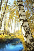 Forest birch near a pond — Stock Photo