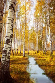 Forest birch near a river — Stock Photo