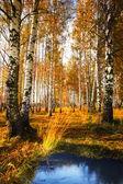 Forest birch near a pond — Stock Photo
