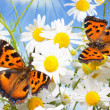 Two butterflies on camomiles — Stock Photo