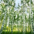 Forest birch — Stock Photo #25928447