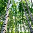 Forest birch — Stock Photo #25928471
