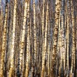 Forest birch — Stock Photo #25928543