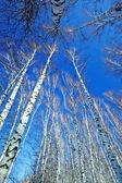 Birch in sunligh — Stock Photo